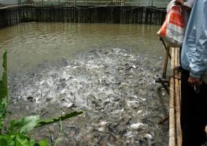 Umpan Mancing Ikan Patin Jitu Dan Neter Umpan Ikan