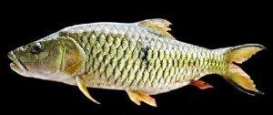 cara mancing ikan hampala