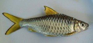 umpan jitu mancing ikan kepek