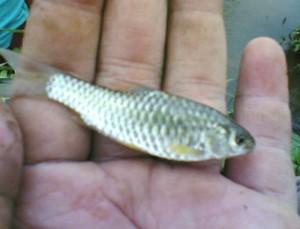mancing dengan umpan ikan mas kecil