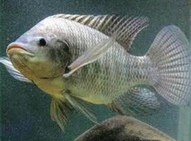mancing ikan nila