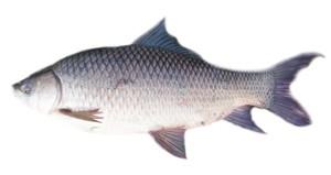 mancing ikan rohu
