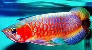 Umpan jitu mancing Ikan Arwana