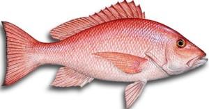 umpan jitu ikan kakap merah
