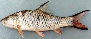 umpan jitu mancing ikan tombro
