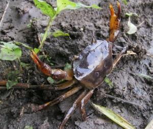 umpan kepiting sawah