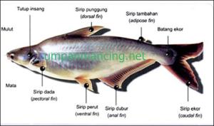 teknik jitu mancing ikan patin