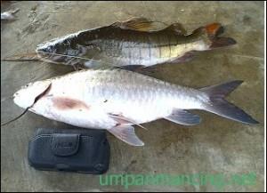 ikan jurung segar