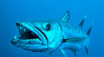 Teknik dan Umpan Jitu Mancing Ikan Barakuda di tengah Laut