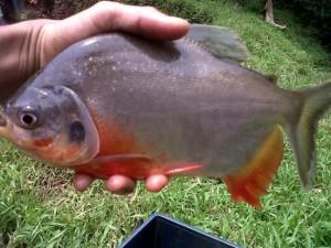 cara mancing ikan bawal galatama