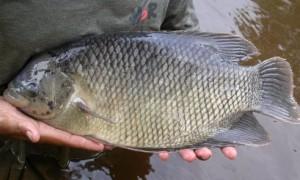 cara mancing ikan gurame