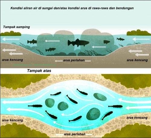 umpan ikan sungai paling ampuh