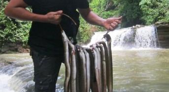 Umpan ampuh dan Cara mancing Ikan Sidat